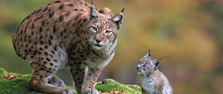 Mutter und Kind einer Luchsfamilie im Wildpark Aurach bei Kitzbühel